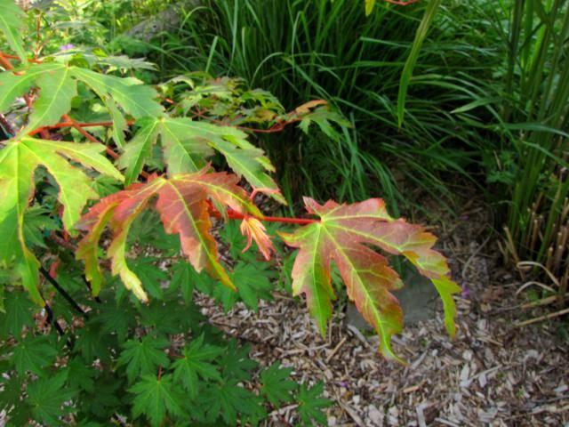 Acer pseudosieboldianum ( Érable de Corée ) Erable%20Koreen%20juillet%202015