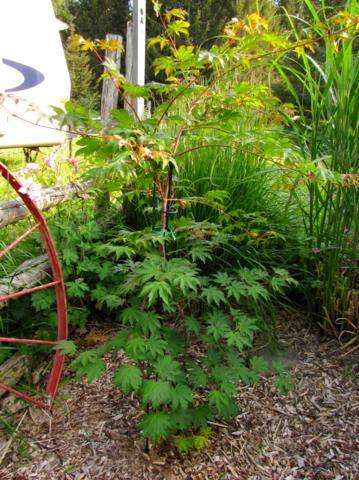 Acer pseudosieboldianum ( Érable de Corée ) IMG_0022_359x480_1