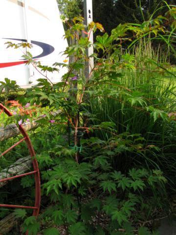 Acer pseudosieboldianum ( Érable de Corée ) IMG_0023_360x480