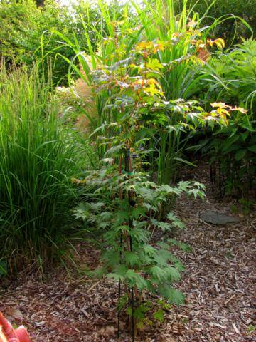 Acer pseudosieboldianum ( Érable de Corée ) IMG_0024_360x480