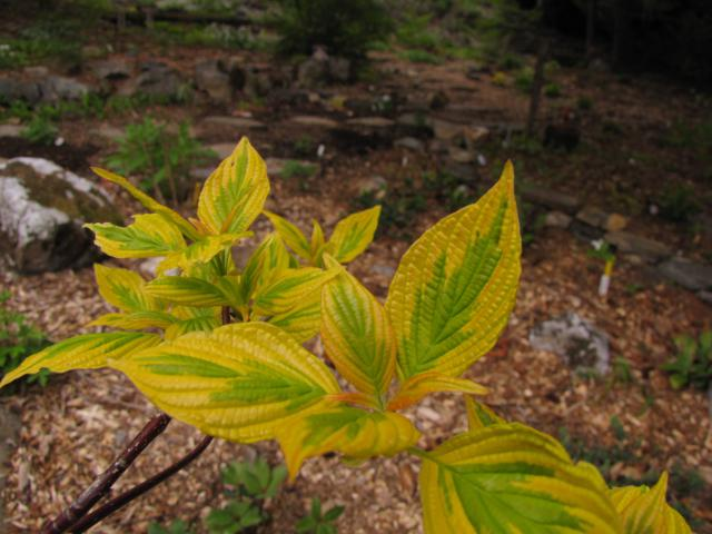 Cornus alternifolia Golden Shadows - Page 2 Cornus%20alternifolia%20%20Golden%20Shadows%202015%203