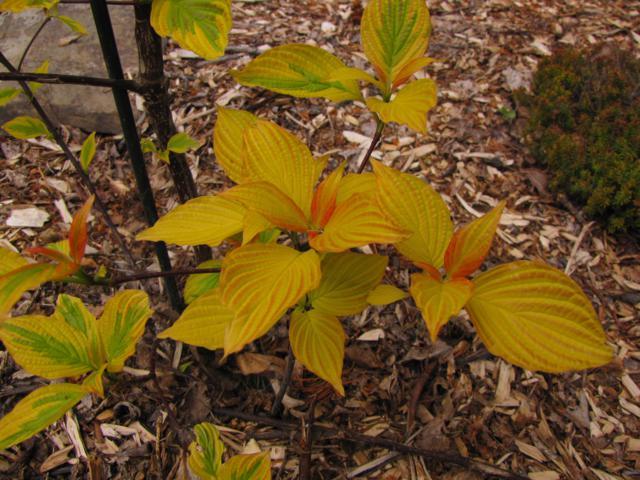 Cornus alternifolia Golden Shadows - Page 2 Cornus%20alternifolia%20%20Golden%20Shadows%202015%204