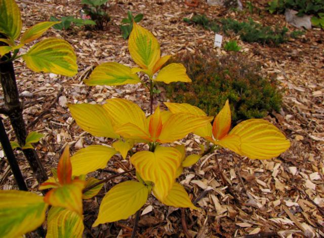 Cornus alternifolia Golden Shadows - Page 2 Cornus%20alternifolia%20%20Golden%20Shadows%202015