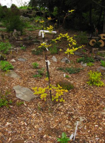 Cornus alternifolia Golden Shadows - Page 2 Cornus%20alternifolia%20Golden%20Shadows%202015