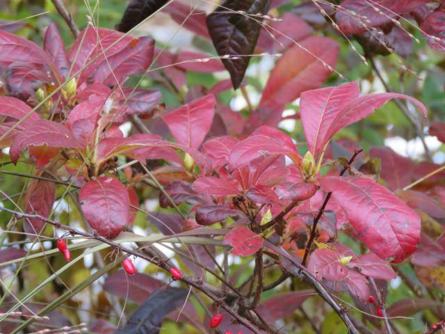 Rhododendron peut-être  'Northern Starburst' Arbuste%20Azaleacutee%20Exbury%20Klondyke%2015%20nov%202015%202