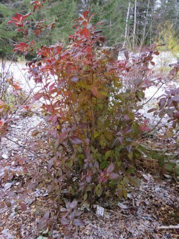 Rhododendron peut-être  'Northern Starburst' Arbuste%20Azaleacutee%20Exbury%20Klondyke%2015%20nov%202015