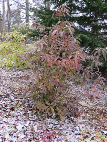 Rhododendron peut-être  'Northern Starburst' Arbuste%20Azaleacutee%20Golden%20Light%2015%20nov%202015