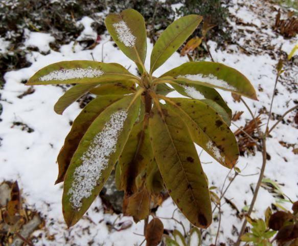 Rhododendron peut-être  'Northern Starburst' Arbuste%20Azaleacutee%20Rosy%20Lights%20%20bourgeon%2015%20nov%202015