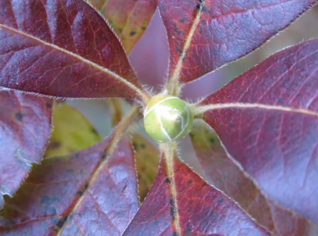 Rhododendron peut-être  'Northern Starburst' Arbuste%20Azaleacutee%20poils%20%202015