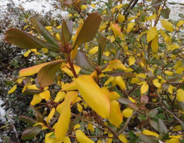 Rhododendron peut-être  'Northern Starburst' Arbuste%20Rhododendron%20Northern%20Starburst%20couleur%20%20nov%202015