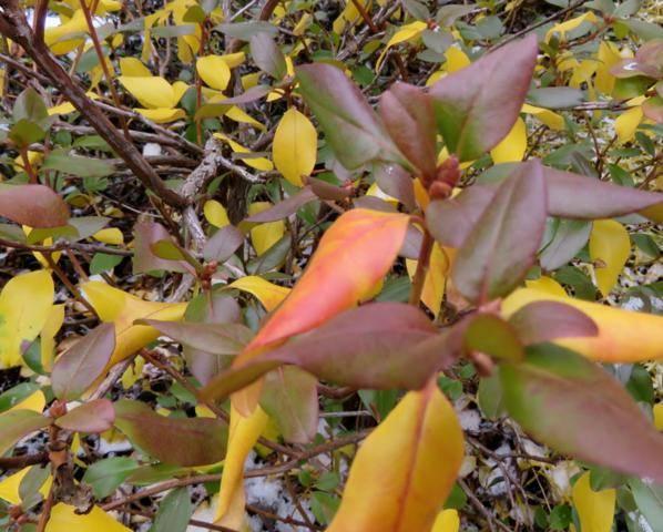Rhododendron peut-être  'Northern Starburst' Arbuste%20Rhododendron%20Northern%20Starburst%20couleur%2015%20%20nov%202015
