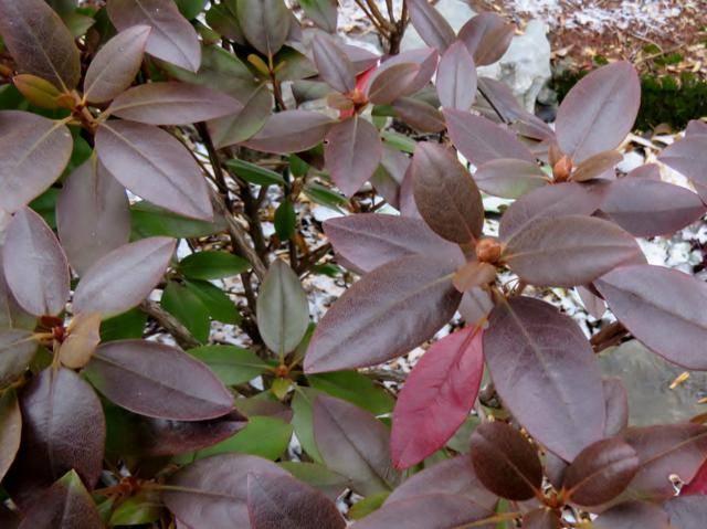 Rhododendron peut-être  'Northern Starburst' Arbuste%20Rhododendron%20PJM%20Compacta%20bourgeons%20%20nov%202015
