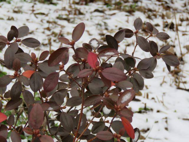 Rhododendron peut-être  'Northern Starburst' Arbuste%20Rhododendron%20PJM%20Elite%20%20nov%202015