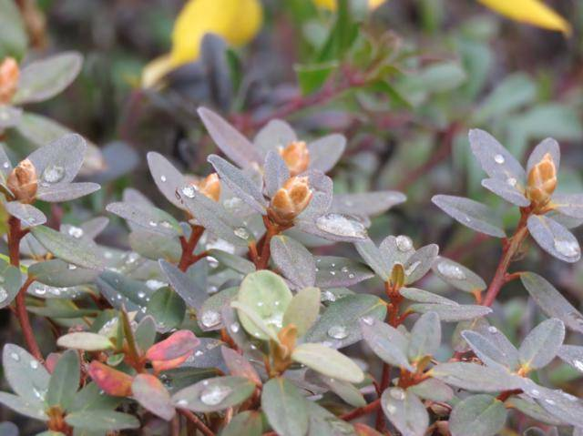 Rhododendron peut-être  'Northern Starburst' Arbuste%20Rhododendron%20Ramapo%2015%20nov%202015