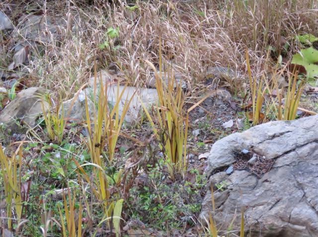 Réaménagement du lac  - Page 9 Iris%20siberica%20au%20lac%20%2003%20novembre%20%202015_1