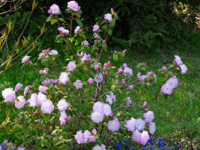 Rhododendron peut-être  'Northern Starburst' Arbuste%20Rhododendron%20Regal%20PJM%202015