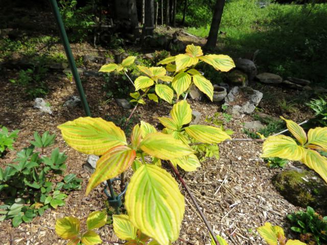 Cornus alternifolia Golden Shadows - Page 2 IMG_7537_640x479