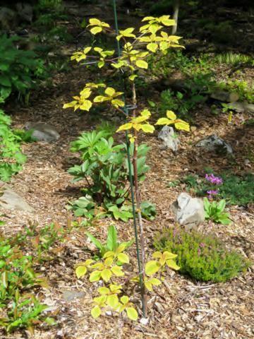 Cornus alternifolia Golden Shadows - Page 2 IMG_7539_360x480