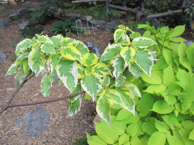 Cornus alternifolia Golden Shadows - Page 2 IMG_0040_640x480-1