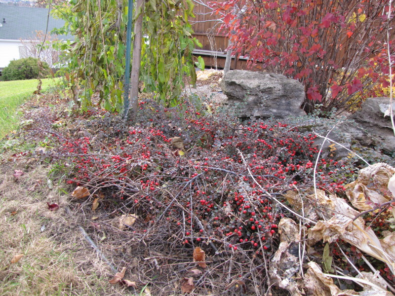 Cotoneaster   IMG_7150