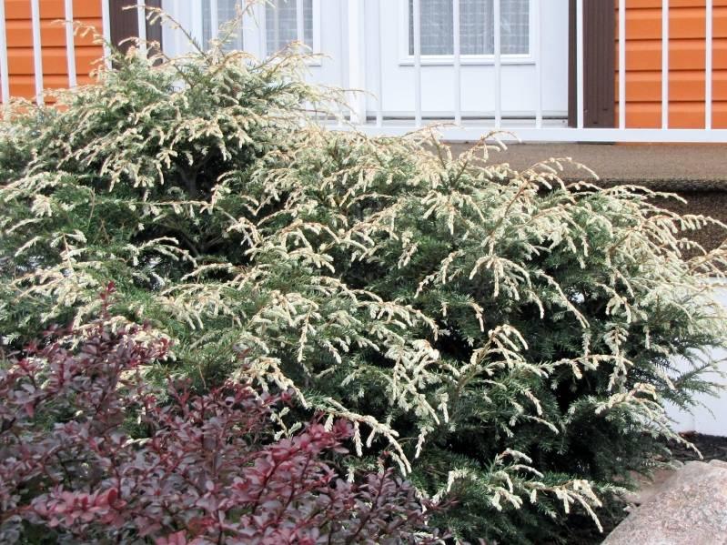 Conifère à identifier  Tsuga canadensis 'Gentsch White' ou ' Moonfrost ' IMG_6591