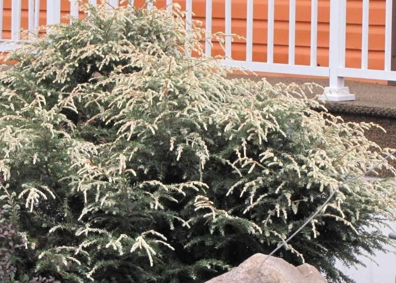 Conifère à identifier  Tsuga canadensis 'Gentsch White' ou ' Moonfrost ' IMG_6593