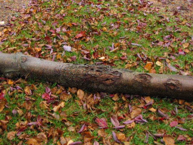Cerisier de Schubert maladie ou insecte  IMG_0006_639x480