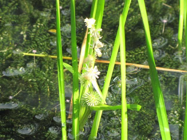 Plante d'eau trouvé Sparganium sp. Plantedeau2014