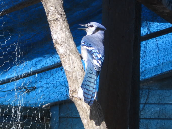 Le Geai Bleu 9sept2005034
