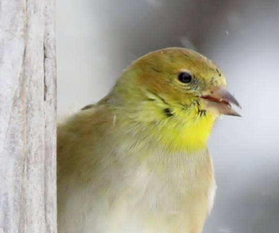 Oiseaux 2016 IMG_2899_576x480
