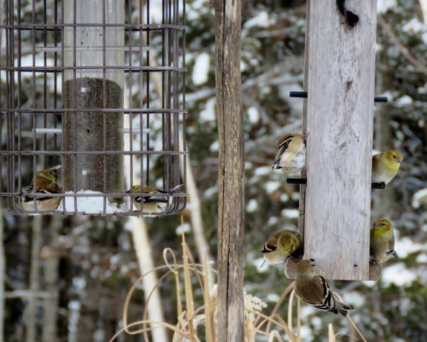 Oiseaux 2016 IMG_2918_598x480