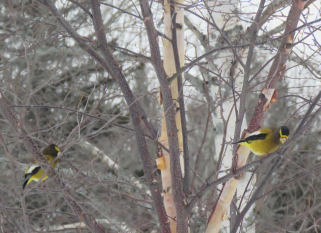 Oiseaux 2016 IMG_3061_640x465