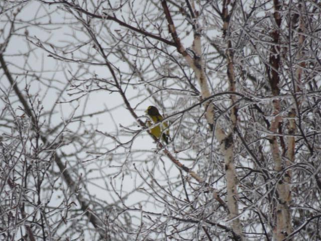 Oiseaux 2016 IMG_3144_640x480