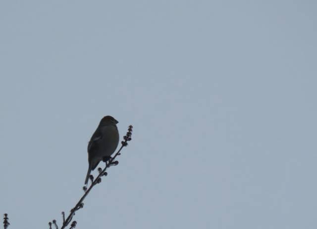 Oiseaux 2016 IMG_3152_640x463