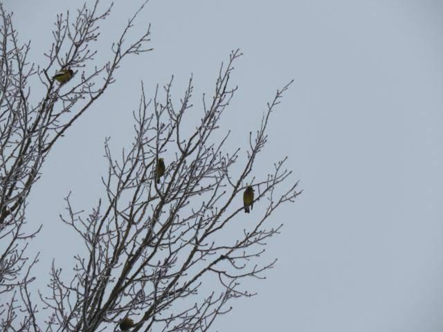 Oiseaux 2016 IMG_3157_640x480