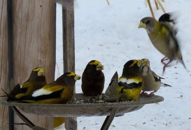 Oiseaux 2016 IMG_3493_640x434
