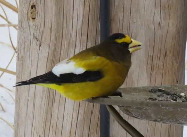 Oiseaux 2016 IMG_3500_640x470