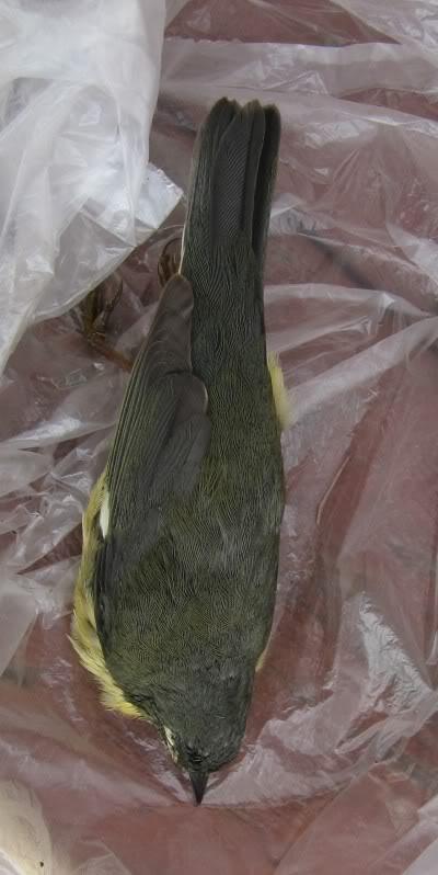 Identification  Paruline bleue femelle 15-05-2011005