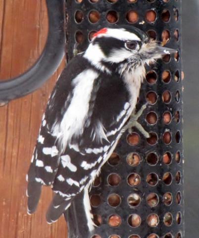 Oiseaux  2014 /2015 IMG_0007_402x480