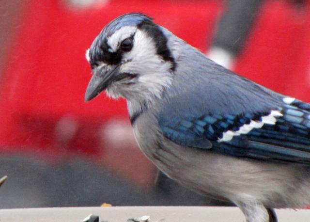 Oiseaux  2014 /2015 IMG_0020_640x458