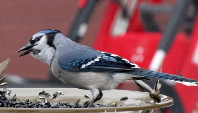 Oiseaux  2014 /2015 IMG_0022_640x367