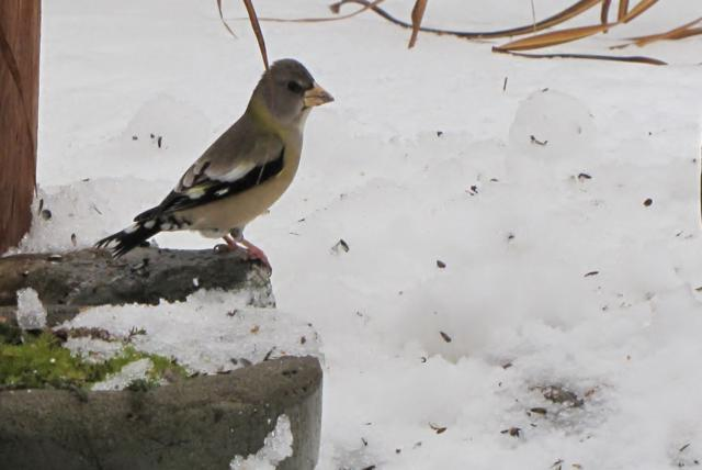 Oiseaux  2014 /2015 IMG_0056_640x428