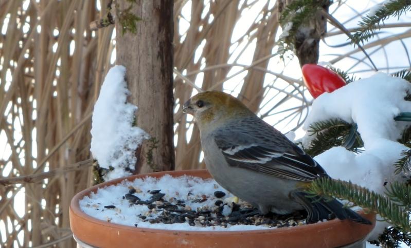 Mes oiseaux  hiver  2012 - 2013 IMG_4951
