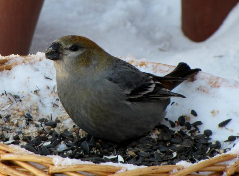 Mes oiseaux  hiver  2012 - 2013 IMG_4969