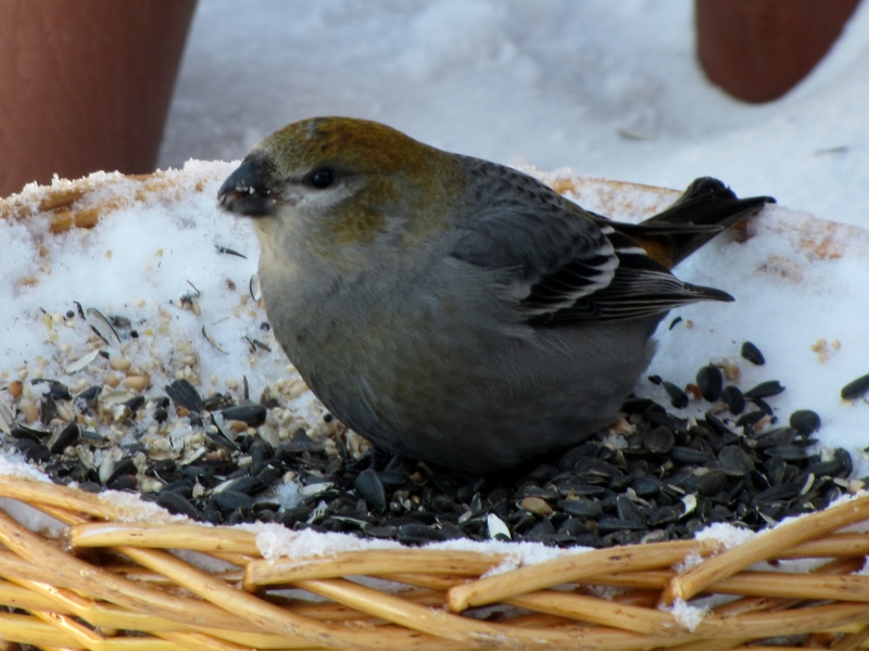 Mes oiseaux  hiver  2012 - 2013 IMG_4971