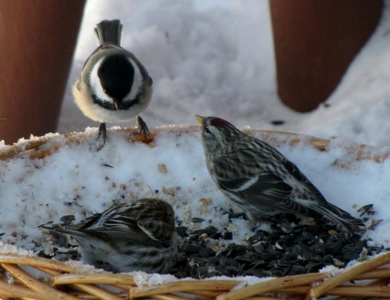 Mes oiseaux  hiver  2012 - 2013 IMG_5011