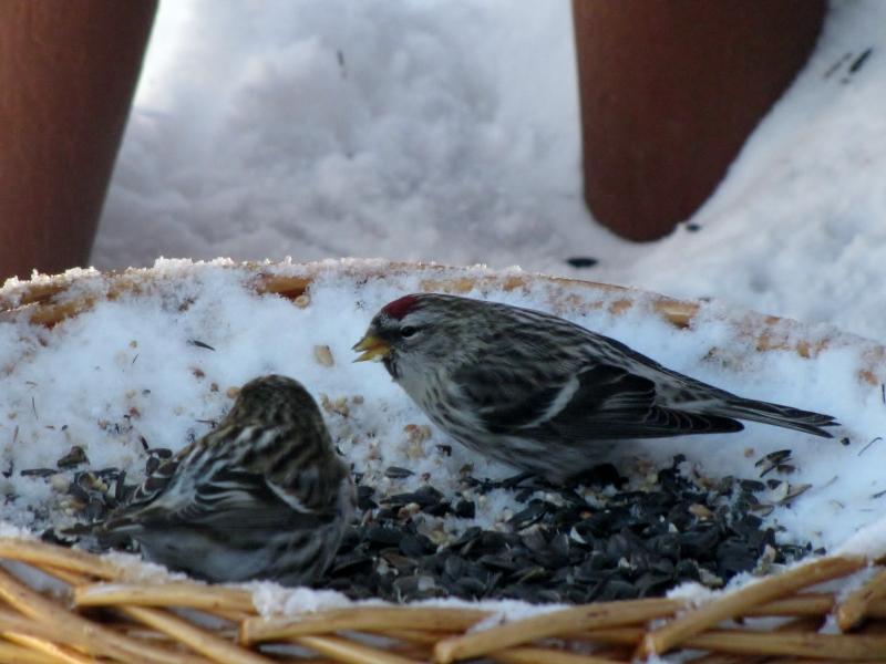 Mes oiseaux  hiver  2012 - 2013 IMG_5012