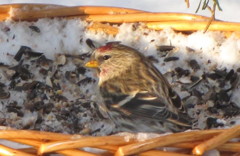 Mes oiseaux  hiver  2012 - 2013 IMG_5027