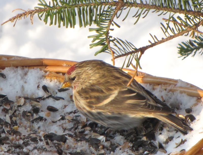 Mes oiseaux  hiver  2012 - 2013 IMG_5031