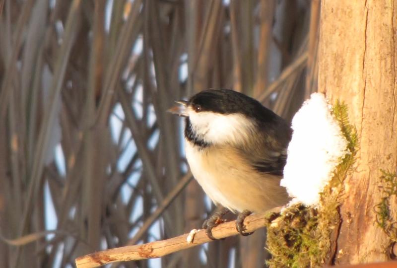 Mes oiseaux  hiver  2012 - 2013 IMG_5040